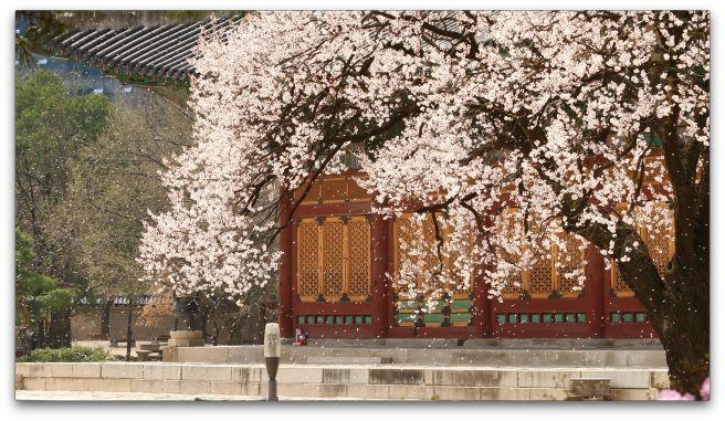덕수궁 봄꽃