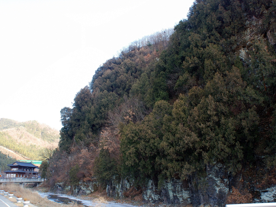 Forest of Oriental Arborvitae in Do-dong, Daegu