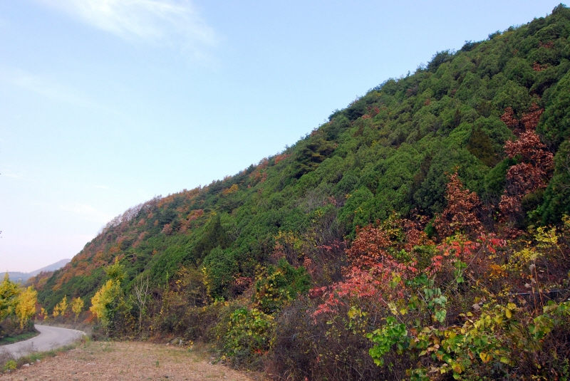 Forest of Oriental Arborvitae in Yeongcheon-ri, Danyang