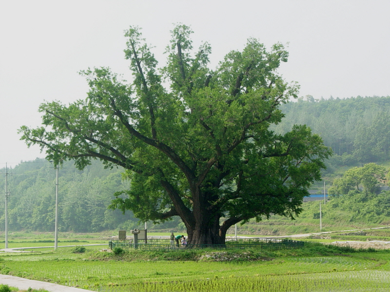 Ginkgo Tree of Guryang-ri, Ulju