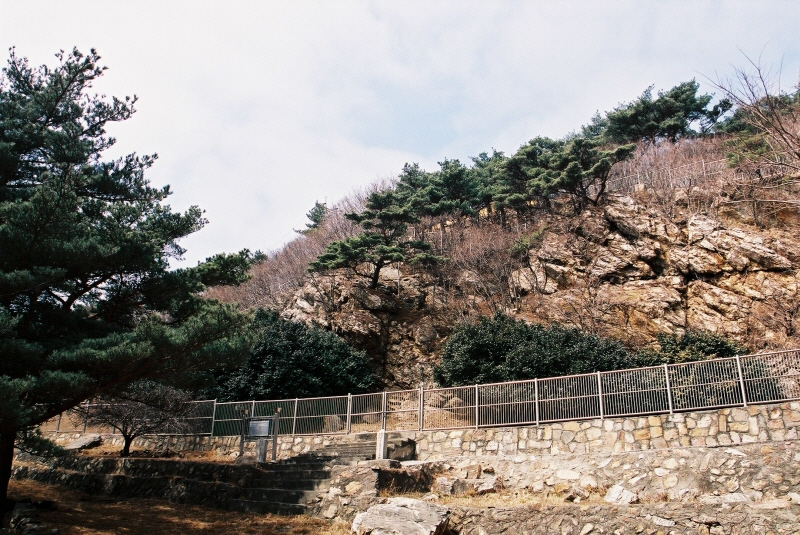 Northernmost Limit of Common Camellia Colony on Daecheongdo Island, Ongjin