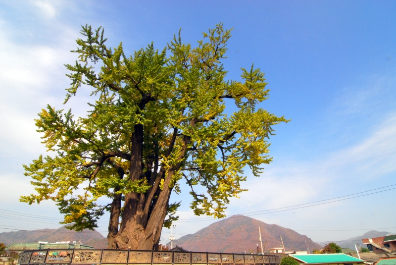 Ginkgo Tree of Hasong-ri, Yeongwol