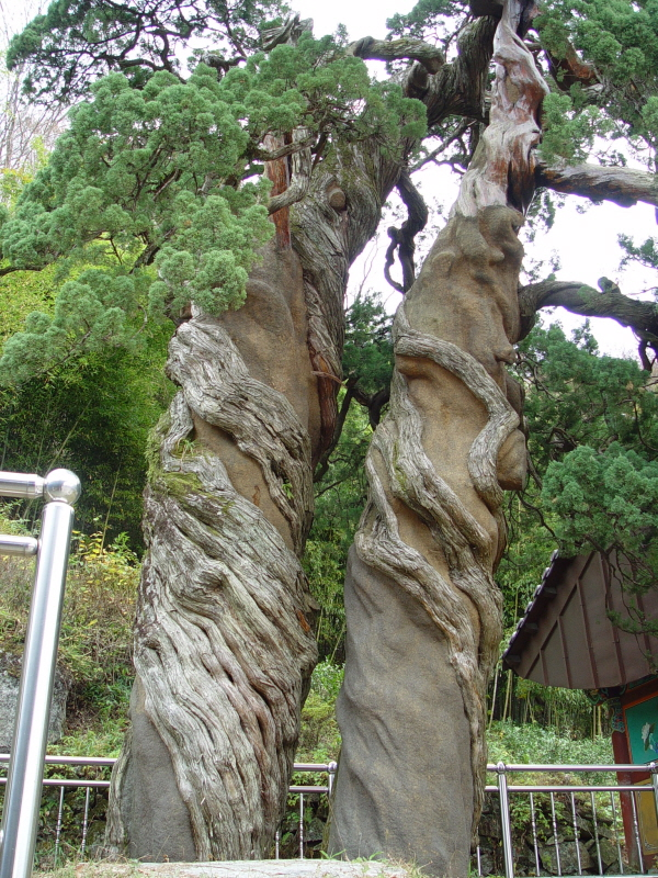 Pair of Chinese Junipers at Cheonjaam Hermitage of Songgwangsa Temple, Suncheon