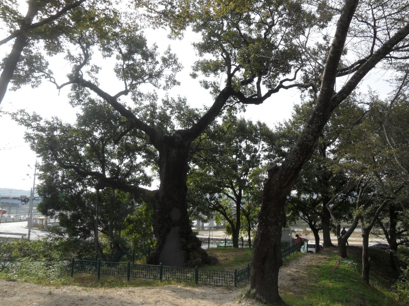 Cork Oak of Susan-ri, Uljin