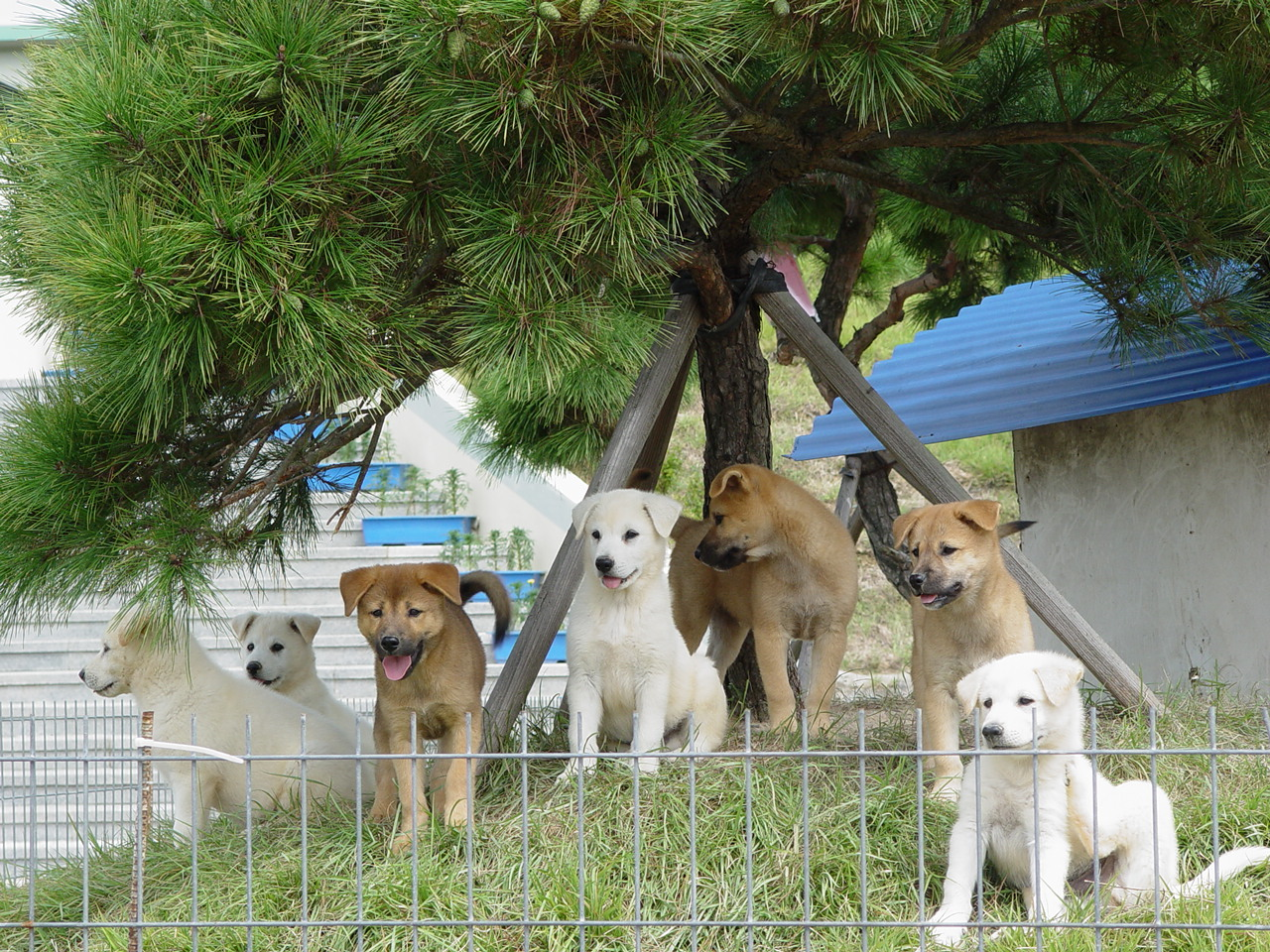 Jindo Dog of Jindo