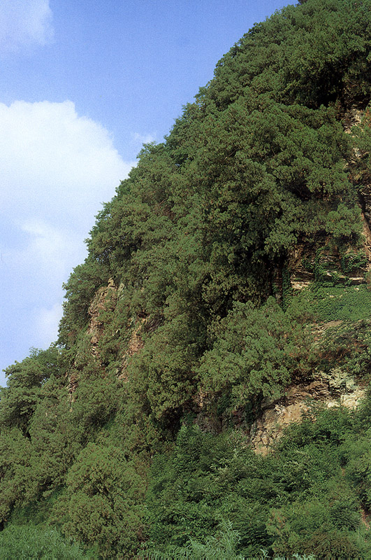 Forest of oriental arborvitae in Dalseong
