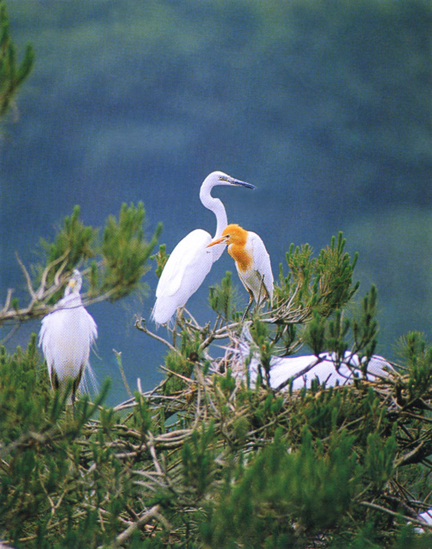 White and yellow herons