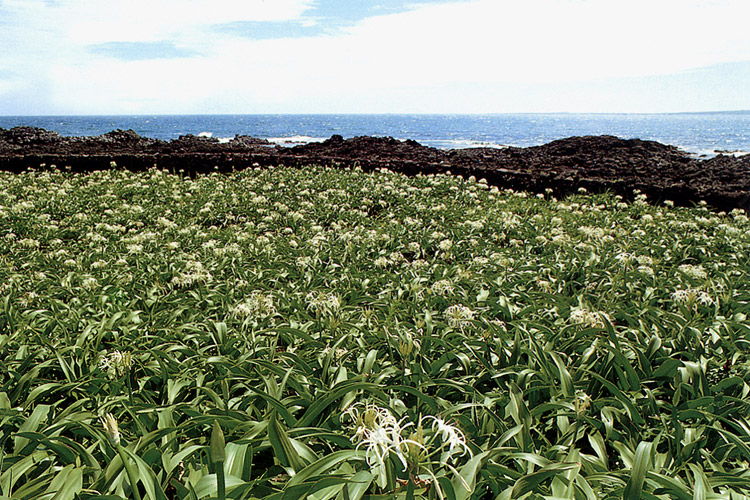 Natural habitat of crinum lily in Gujwa-eup, Jeju-do