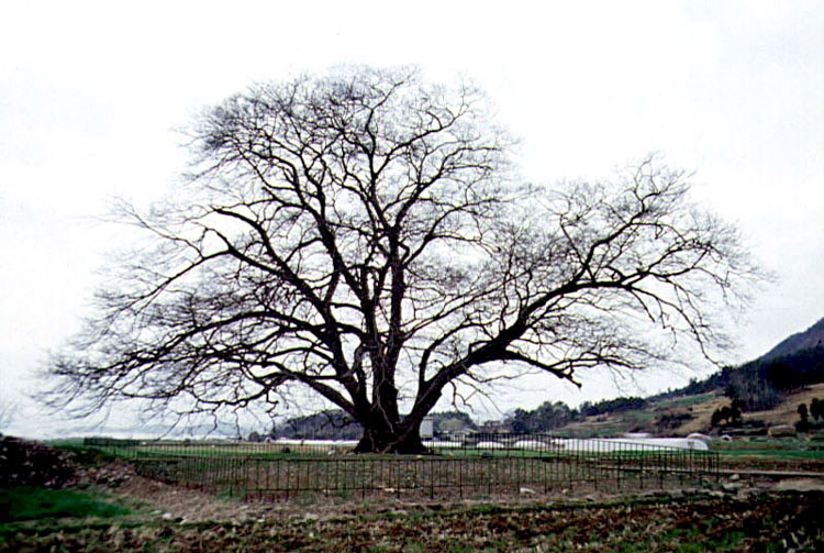 Pseudo hackberry in Daegu-myeon(Winter)
