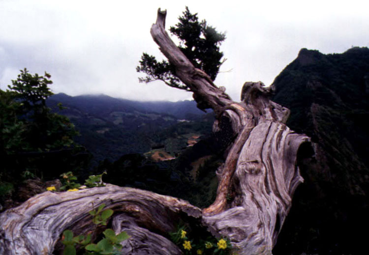 Chinese juniper in Daepunggam