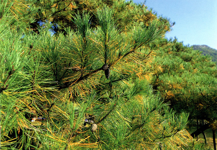 Leaves of pine tree