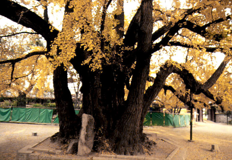 The Root of gingko tree in the Confucian shrine of Seoul