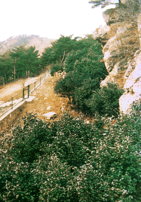 Northernmost limists of natural growth of camellia in Daecheongdo island