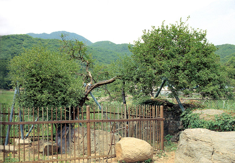 Poncirus tree in Sagi-ri, Ganghwa