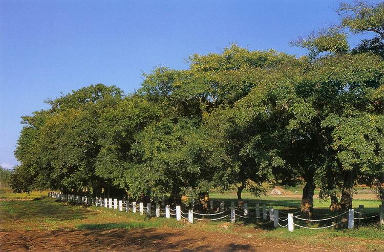 Forest of Hackberry and Yeddo Hornbeam in Cheongcheon-ri, Muan