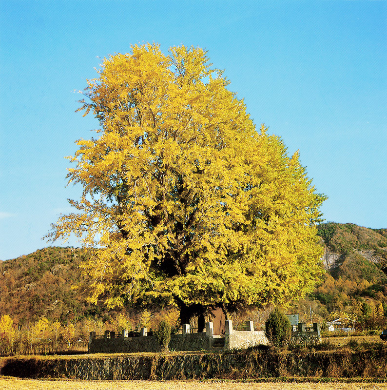 Gingko tree in Haengjeong, Geumsan