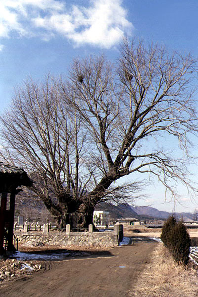 Gingko tree in Haengjeong, Geumsan(Winter)