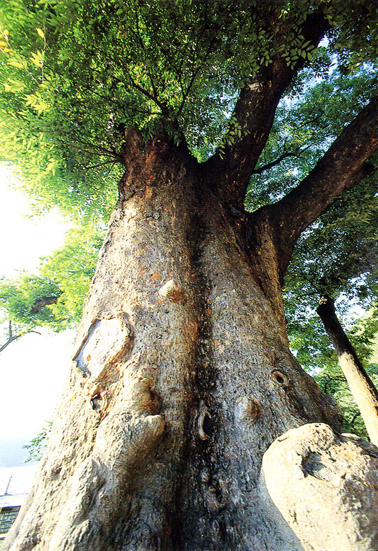 Trunks of long-leafed zelkova in Dogye-eup, Samcheok