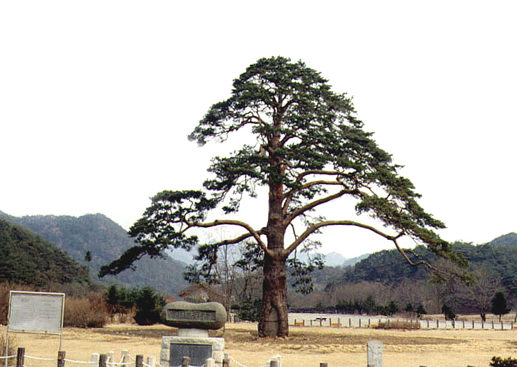 Jeongipum pine tree in Songni