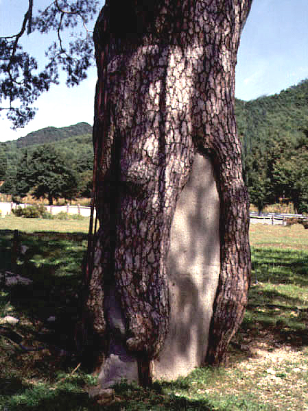 Trunks of Jeongipum pine tree in Songni