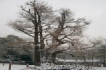 선릉을 지켜온 은행나무