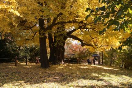 500년 세월을 지켜온 은행나무