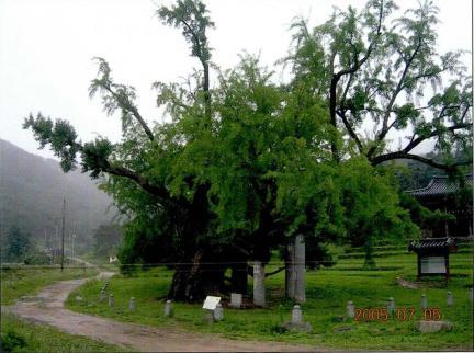 서원앞 은행나무