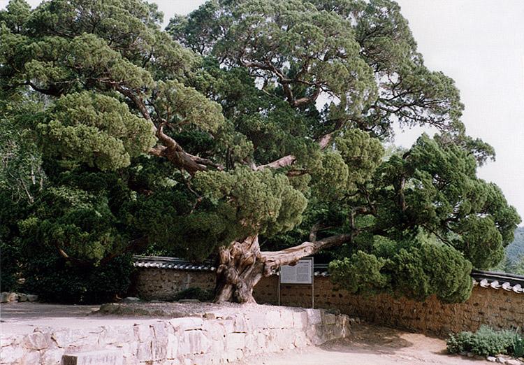 양동의향나무