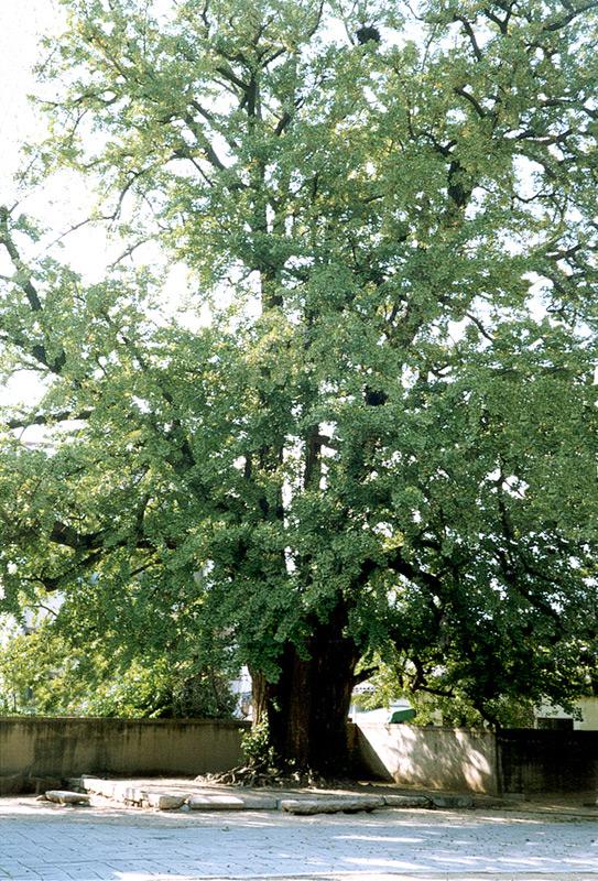 경주동부동은행나무