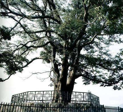 화양동느티나무