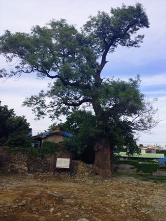 기장동부리회화나무
