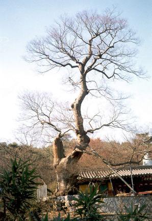 용궁사느티나무(할아버지나무)