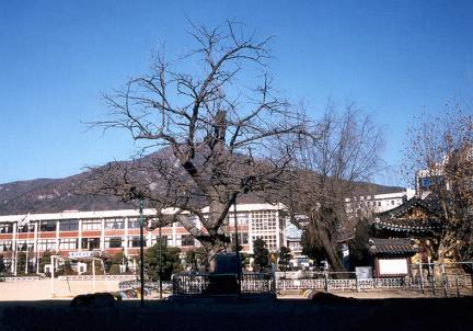 계산동은행나무