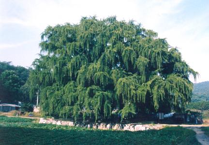 장수동은행나무