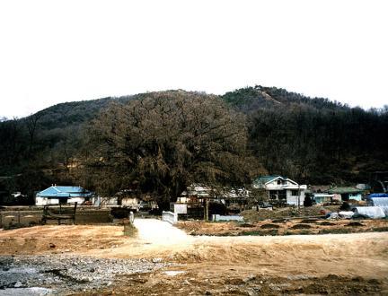 장수동은행나무근경