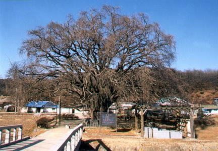 장수동은행나무전경