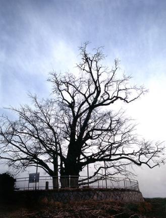 칠석동은행나무