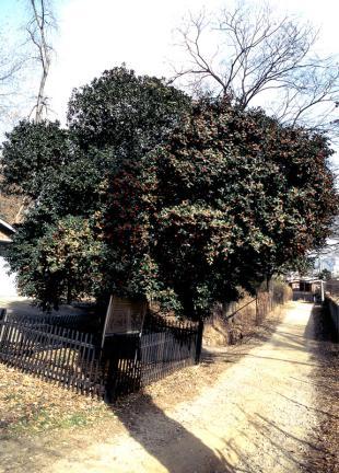 양림동호랑가시나무