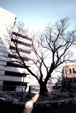 학동느티나무