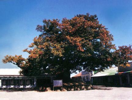 삼척교가리느티나무