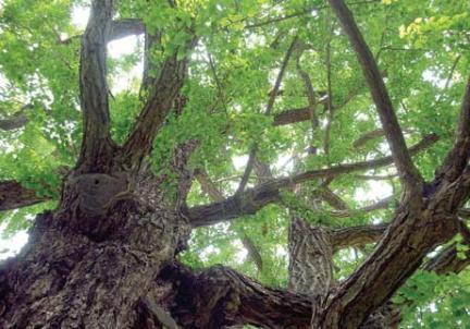 운산리 은행나무