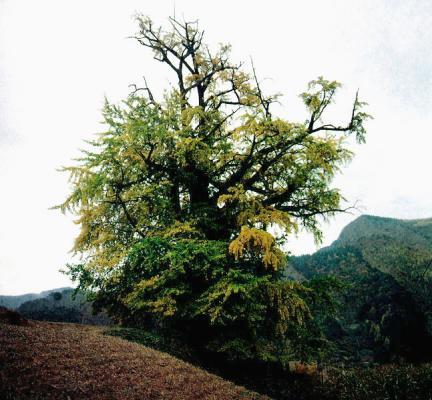 삼척늑구리은행나무
