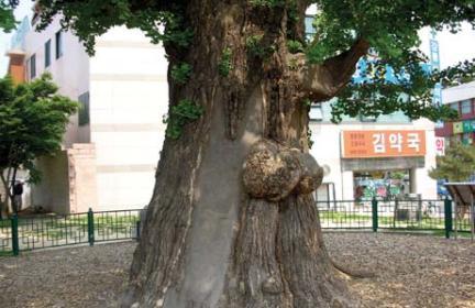 옥천동 은행나무