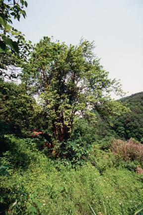 삼척 안의리 모과나무(삼척시청)