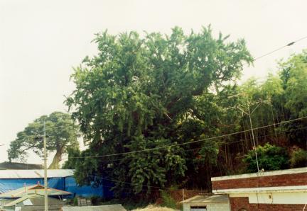 성당면의은행나무