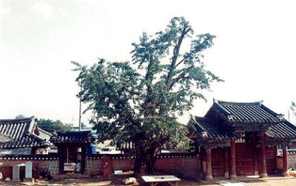 익산향교의은행나무