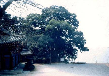 망해사의팽나무
