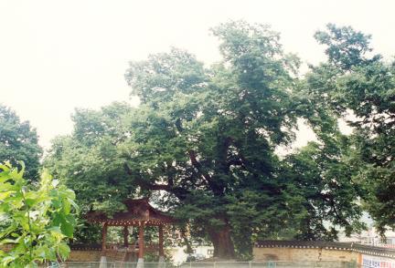 여산동헌의느티나무