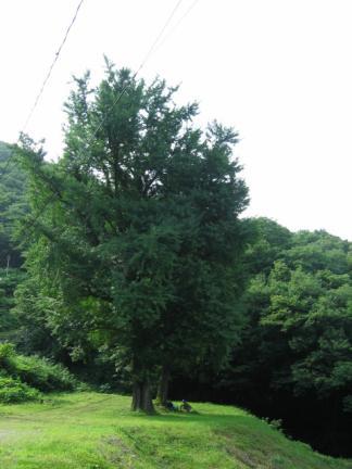 구암사의 은행나무