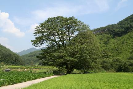 순천평촌리이팝나무